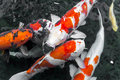 beautifulfish CARP fancy /  koi fish swimming in pond, japanese Royalty Free Stock Photo