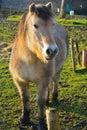Beautifull belgian horse in a field Stock Photos