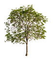 Beautifull green tree isolated on a white background Stock Photography