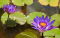 Beautifull purple lilly on water Stock Photos