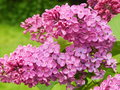 Beautifully blossoming lilac in the lilac garden in moscow on green background may Royalty Free Stock Images