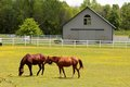 Beautifully healthy horses grazing in an open field front of a stable Royalty Free Stock Image