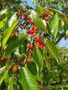 Beautiful organic cherries Royalty Free Stock Photo