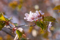 Beautirul pink sakura flowers on a small twig of Japanese cherry