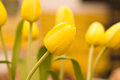 Beautuful yellow tulips flower in the garden Royalty Free Stock Photography