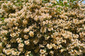 Beauty bush the background of flowers of scientific name kolkwitzia amabilis graebn Stock Photography