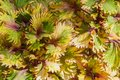 Beauty of Coleus Painted nettle colorful leaf background. Royalty Free Stock Photo