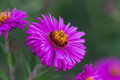Beauty color aster flowers close up Royalty Free Stock Photo