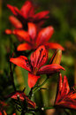 The beauty of the gardens lily lilies is a real decoration parks meadows these flowers are important in culture and literature in Royalty Free Stock Photography