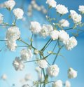 Beauty in nature white flowers growing on a plant Royalty Free Stock Photography