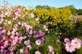 The beauty pink coreopsis flowers and yellow flowers