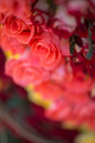 Beauty of roses selected focus on great colorful nosegay Royalty Free Stock Photography