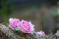 Beauty of roses selective focus on very beautiful lilac sticking into the twisted wreathe like ornament Stock Image