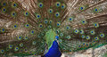 The beauty and splendor of peacock Royalty Free Stock Photos