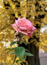 Fantastic withering pink rose in front of autumn gold Royalty Free Stock Photo