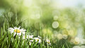 Beauty summer day with daisy flowers and bokeh Royalty Free Stock Photo