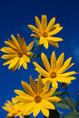 Beauty sunflowers with blue sky Royalty Free Stock Images