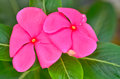 The beauty Vinca flower Stock Images