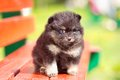 Beautyful fluffy Pomeranian puppy Stock Images