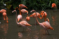 Beaux flamants en parc d oiseau de jurong Photo stock
