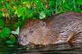 Beaver Royalty Free Stock Photos