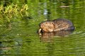 Beaver Stock Photography