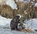 Beaver chooses a tree