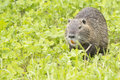 Beaver coypu looking at you on grass background Stock Photos