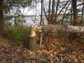 Beaver gnaw Royalty Free Stock Photo
