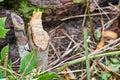 Beaver gnawed on tree Royalty Free Stock Photo