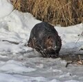 Beaver on ice