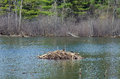 Beaver lodge a constructed by a on a small lake in eastern ontario Royalty Free Stock Photography