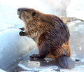 Beaver Royalty Free Stock Photo