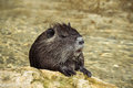 Beaver rat a coypu going out from the water in the park animals of the pyrenees Royalty Free Stock Photos