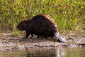 Beaver on a riverbank Royalty Free Stock Photo