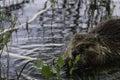Beaver Salad Royalty Free Stock Photo