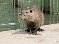 Beaver the sits on the river bank Stock Photo