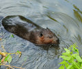 Beaver Swimming in Water Stock Photos
