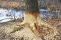Beaver tree damage Royalty Free Stock Photo