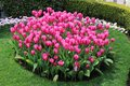Bed of colourful pink tulips on display Royalty Free Stock Photo