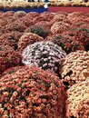 The bed of flowers in Moscow. Colors. Flowers on the street. Royalty Free Stock Photo