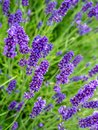 Bed of lavender closeup flowers Stock Photo