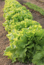 Bed of lettuce Stock Images