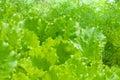 Bed of lettuce