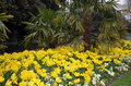 Bed with a lot of yellow flowering tulips in the city park Royalty Free Stock Photo