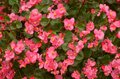 Photo : A Bed of Pink Begonias