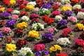 Colorful flowerbed of Primula vulgaris