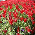 Red Tulips at Topkapi Palace, Istanbul Royalty Free Stock Photo