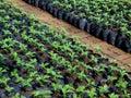 Bed of seedlings from nursery farm Stock Image