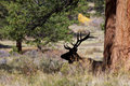 Bedded bull elk silhouetted a under a tree Stock Images